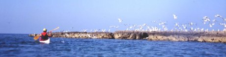 Isola di Sant'Anrea - volo di gabbiani