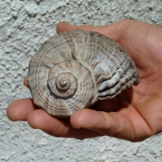 La grossa conchiglia trovata al Delta del Po -Stramonita, un Gasteropode del genere Murex - Delta del Po