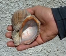 La grossa conchiglia trovata al Delta del Po - Stramonita, un Gasteropode del genere Murex - Delta del Po