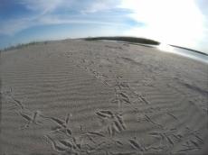 impronte di uccelli marini sulla sabbia del Bonello Bacucco